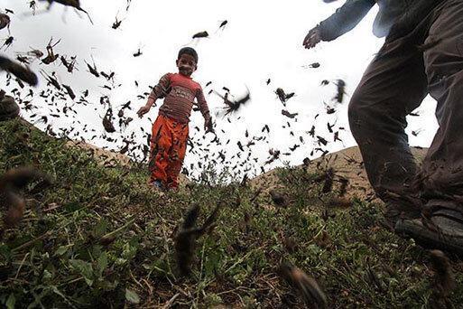 ملخ ها بازمی گردند؛ از هند و پاکستان