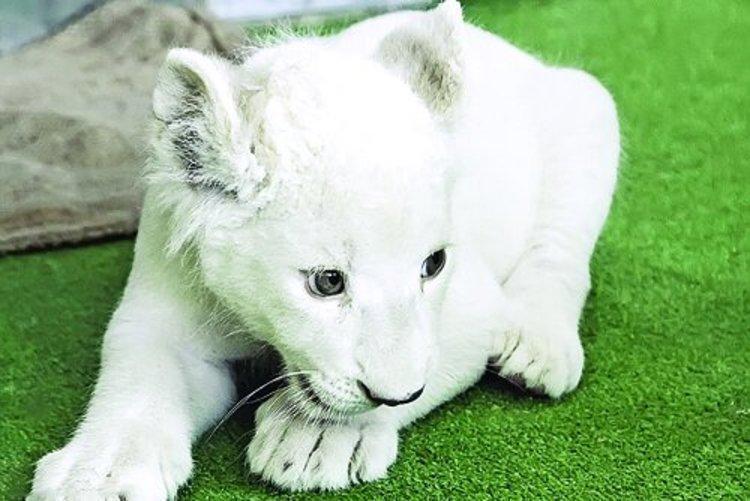 مرگ سومین توله شیر سفید هویزه