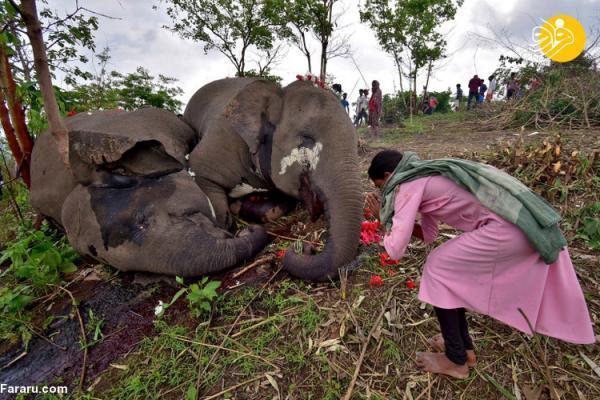 (ویدئو) مرگ دردناک 18 فیل بر اثر صاعقه